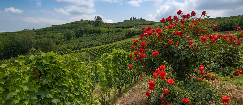 Rose bush on the end of a vineyard in Langhe, Piedmont, Italy