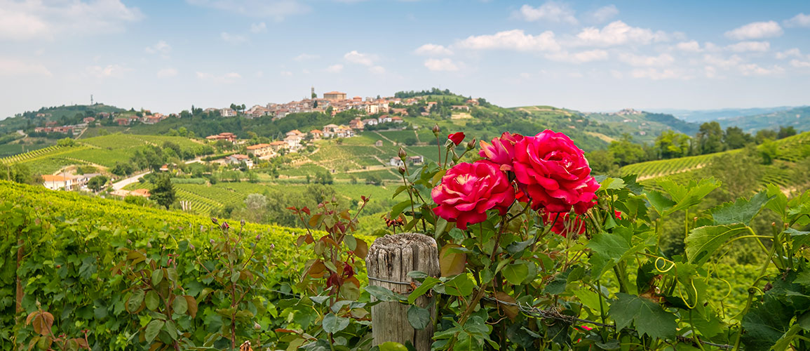 Why is there Rose in a vineyard?