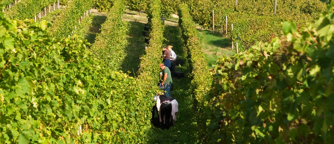 Vine workers in the Langhe